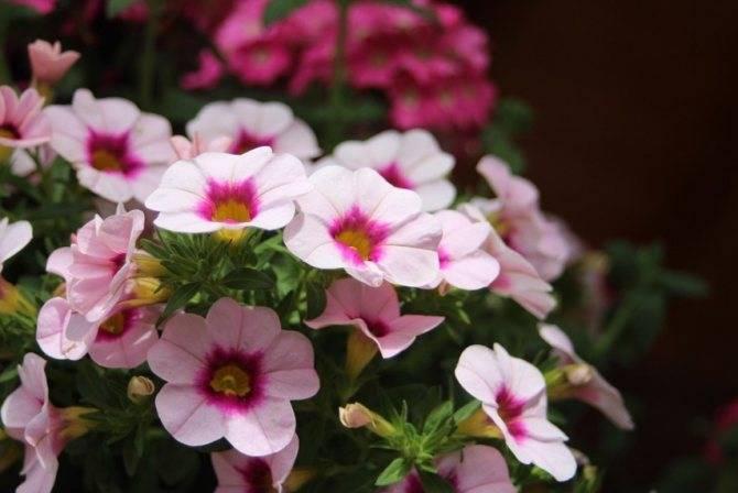 Выращивание петунии из семян дома - технология, видео