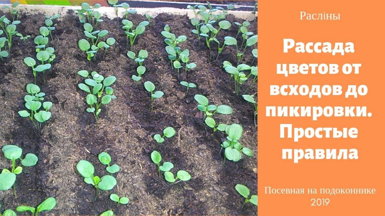 Выращивание рассады однолетних цветов – делаем правильно