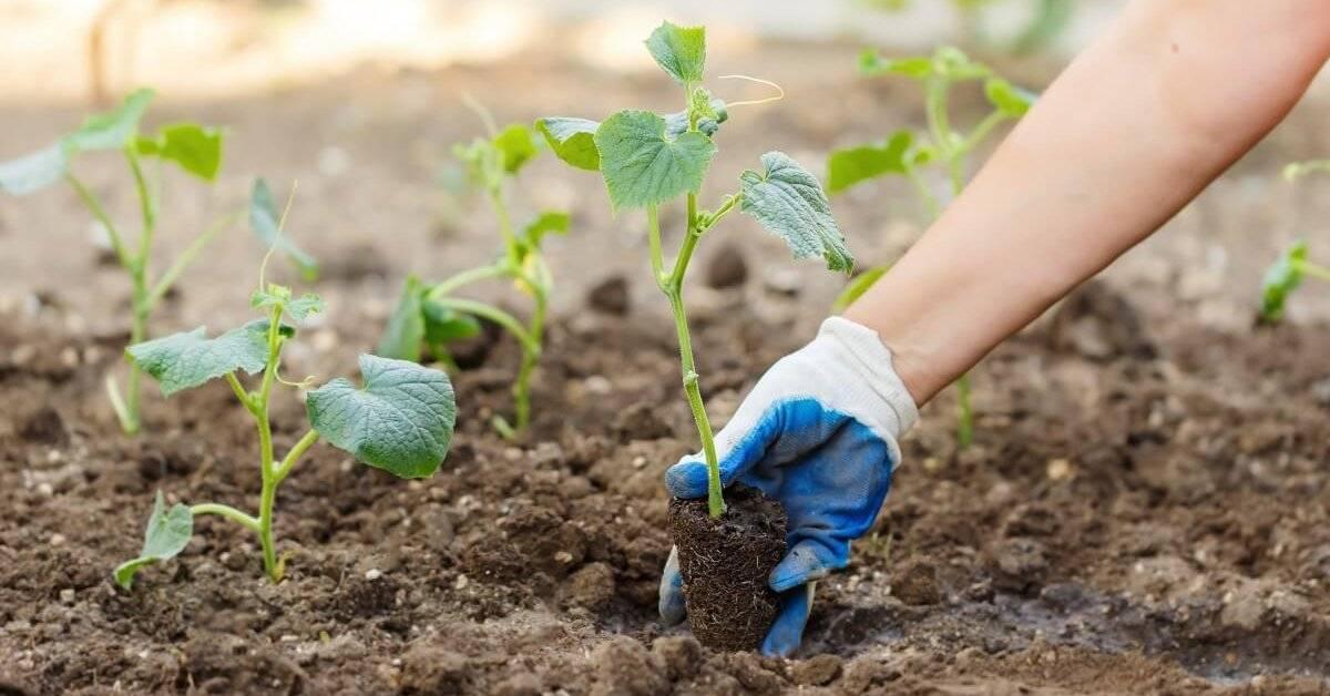 Как вырастить огурцы в открытом грунте?