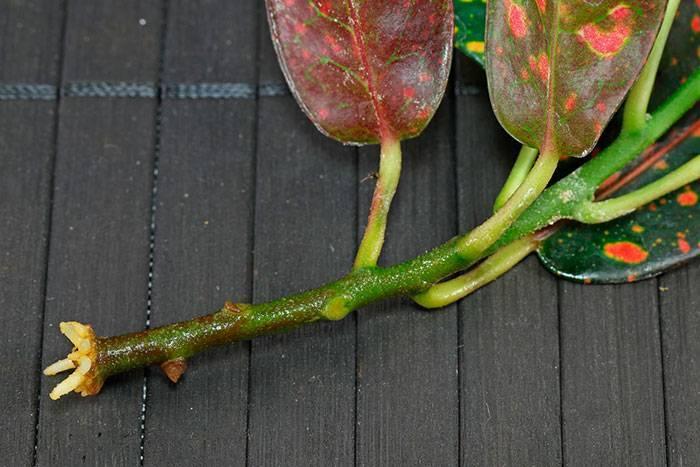 Кротон (кодеум) – размножение и уход в открытом грунте