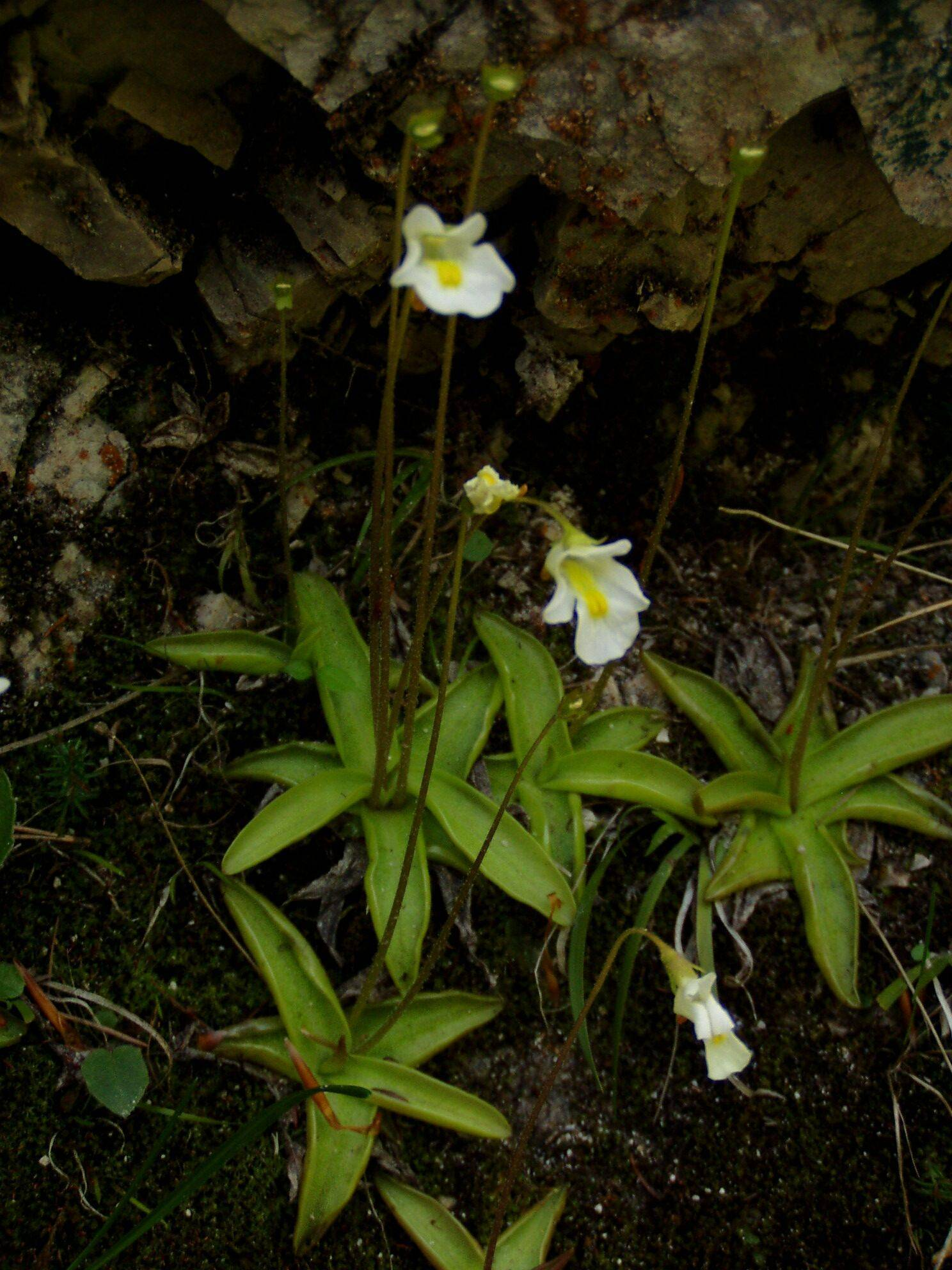 Необычное комнатное растение из рода насекомоядных — жирянка