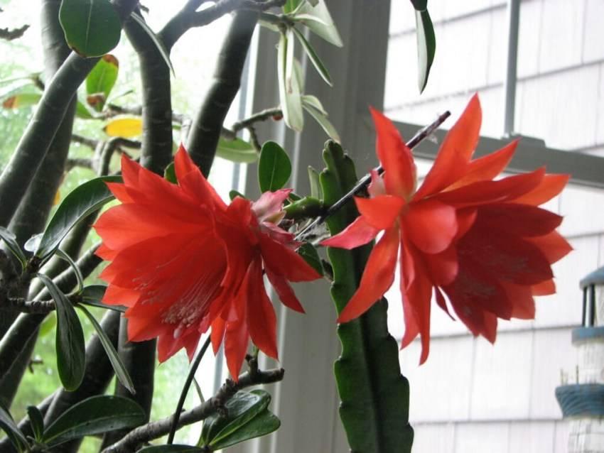 Хотите узнать как распускается хойя и понять почему не цветет?