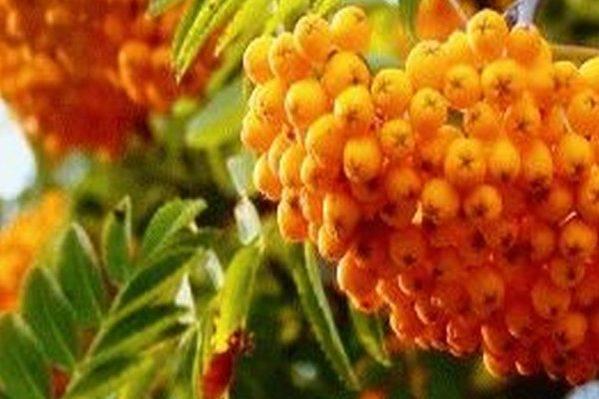 Рябина гранатная - особенности кустарника, вкус плодов, видео