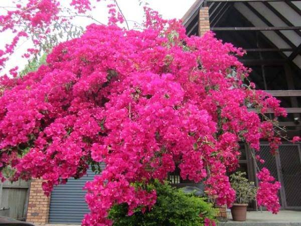 Бугенвиллия: яркие краски в вашем доме практически круглый год