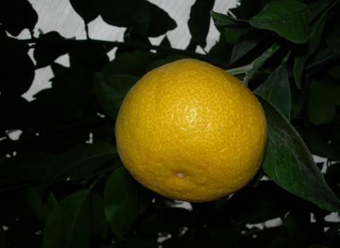 Редкие цитрусовые растения — апельсин, сладкий лимон, видео