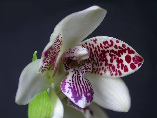 Блетилла (орхидея) посадка и уход. орхидея блетилла — уход в домашних условиях орхидея блетилла в домашних условиях
