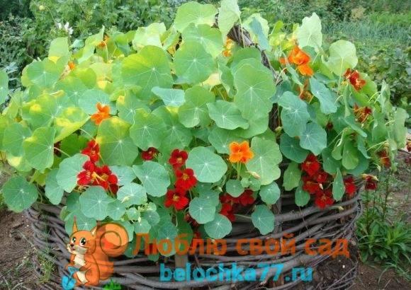 Советы садоводов: как вырастить настурцию?