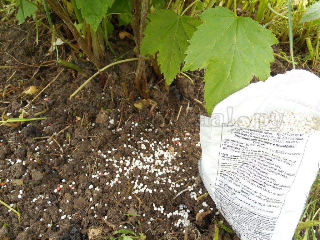Удобрения для смородины — весной и осенью, при посадке и после сбора урожая