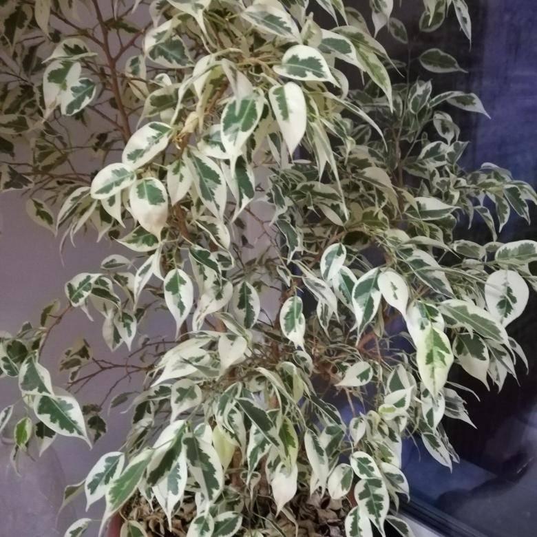 Фикус: выращивание и уход в домашних условиях