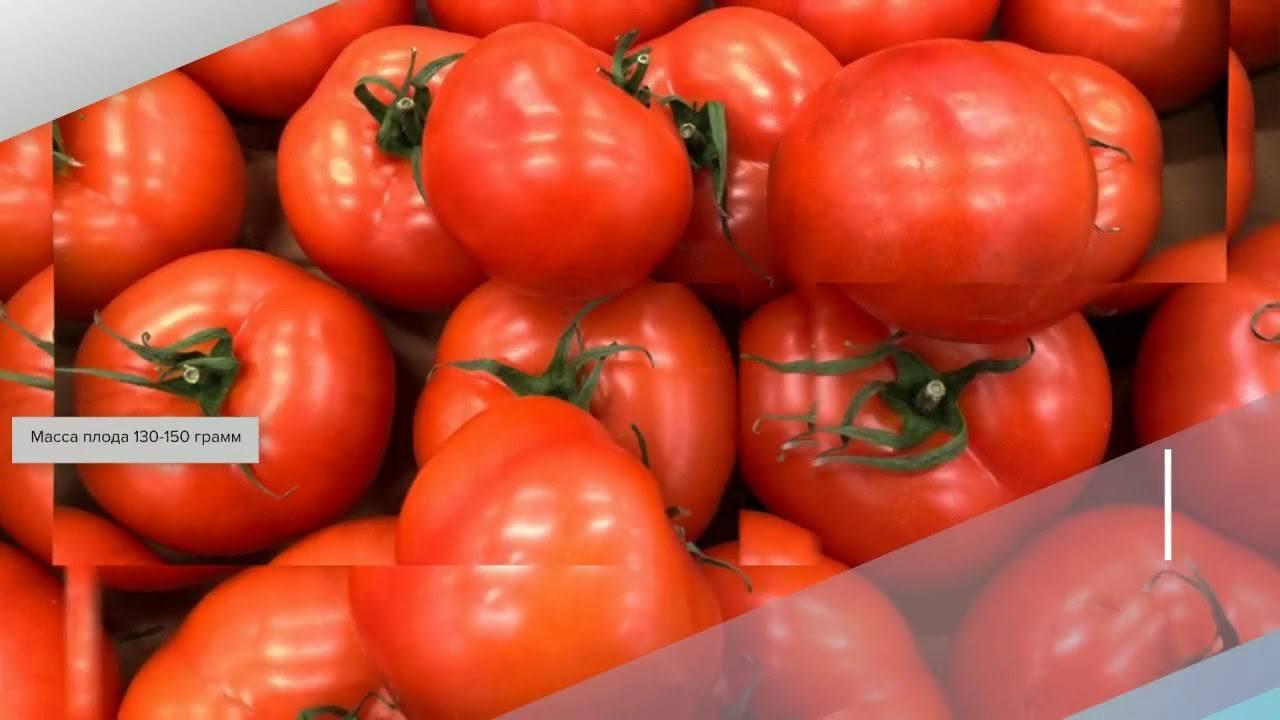 Урожайный томат Марьина роща для выращивания в теплице