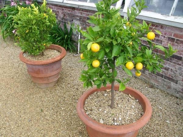 Как и когда проводят обрезку комнатных лимонов?