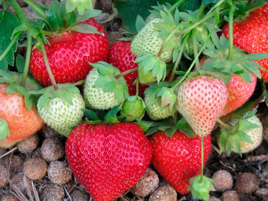 Клубника лорд: описание сорта, фото, отзывы садоводов