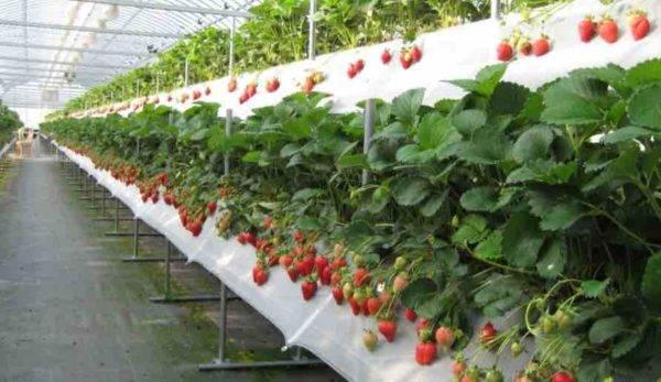 Секреты выращивания клубники в теплице по голландской технологии