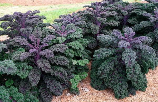 Капуста листовая кале: описание сортов и рекомендации по выращиванию