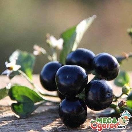 Санберри: польза, выращивание, уход, рецепты. самбери ягода – полезные свойства