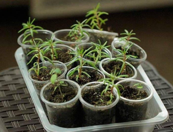 Грамотный уход и выращивание портулака на дачном участке