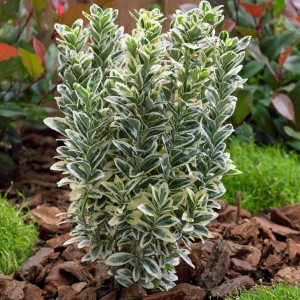 Бересклет форчуна – роскошное украшение летнего сада