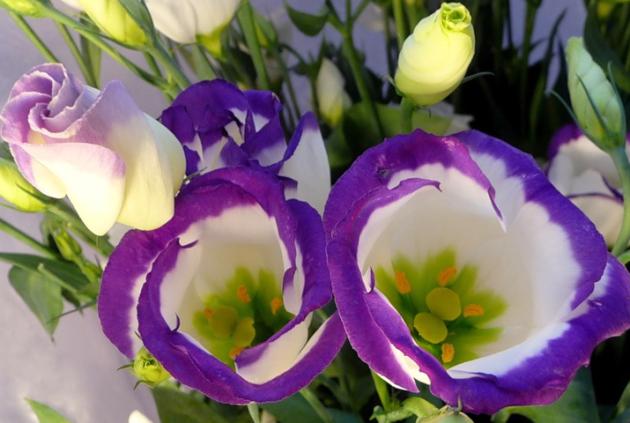 Эустома (лизиантус): выращивание и содержание цветов в домашних условиях