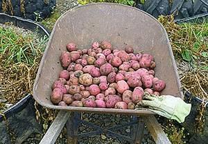 Картофеля уборка: собираем картошку правильно