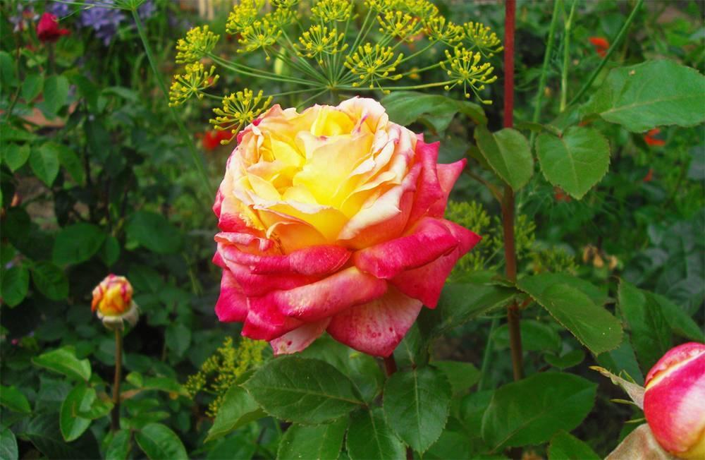 Роза дабл делайт: описание, посадка, уход, болезни, вредители