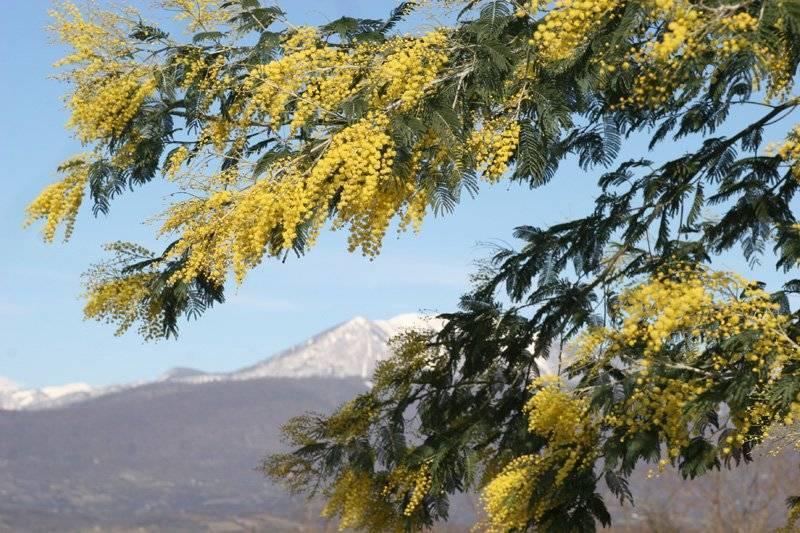 Посадка и уход за красивым деревом белая акация