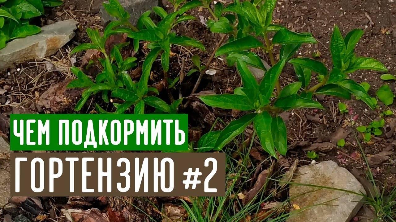 Азалии, хвойные, гортензии — выращивание и уход за ацидофильными растениями