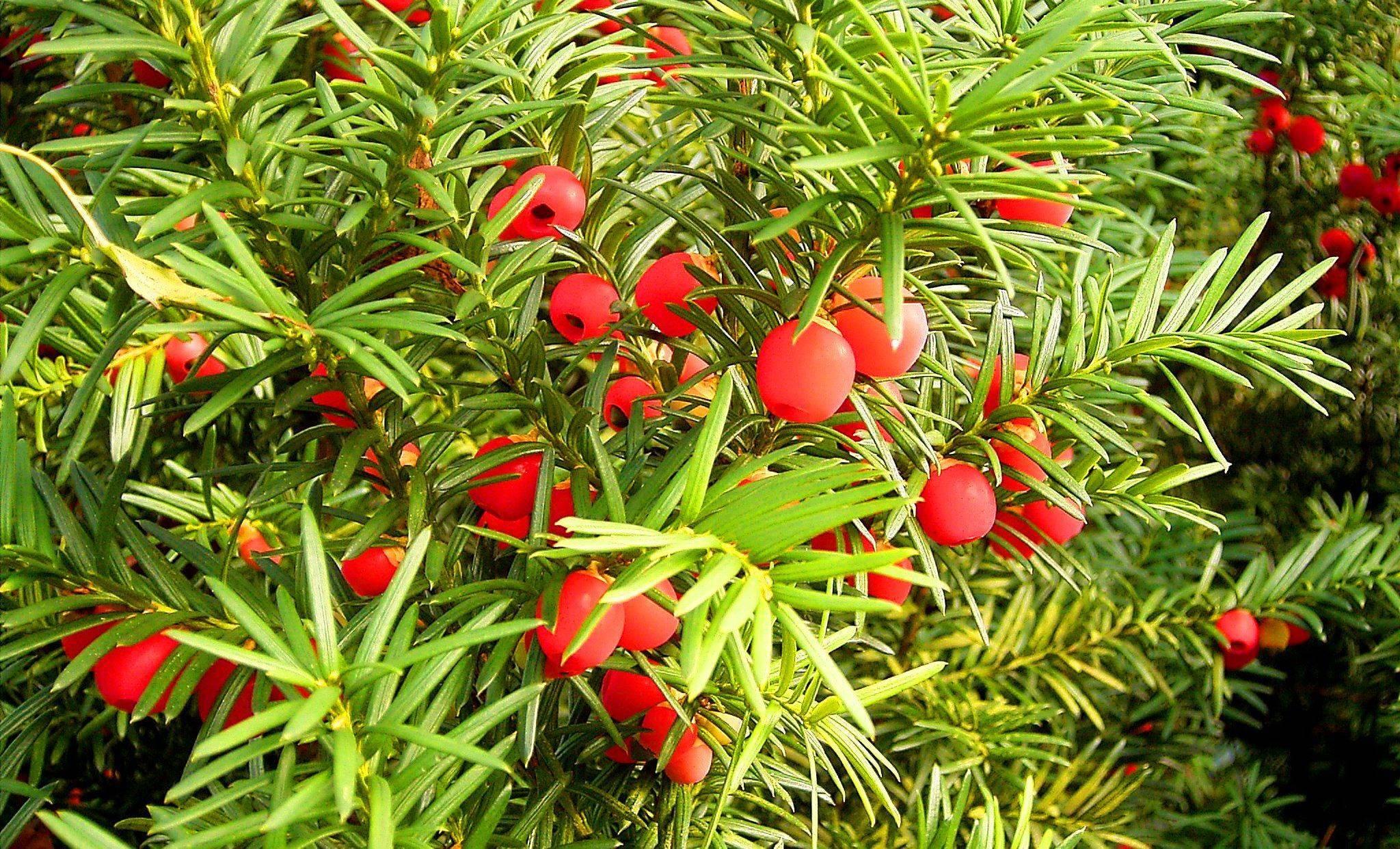 Выращивание ягодного тиса и уход за декоративным растением