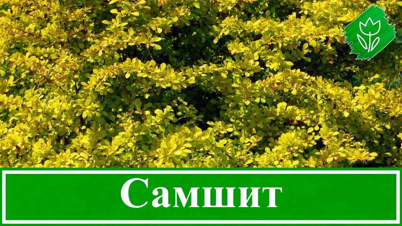 Буксус (самшит) вечнозеленый