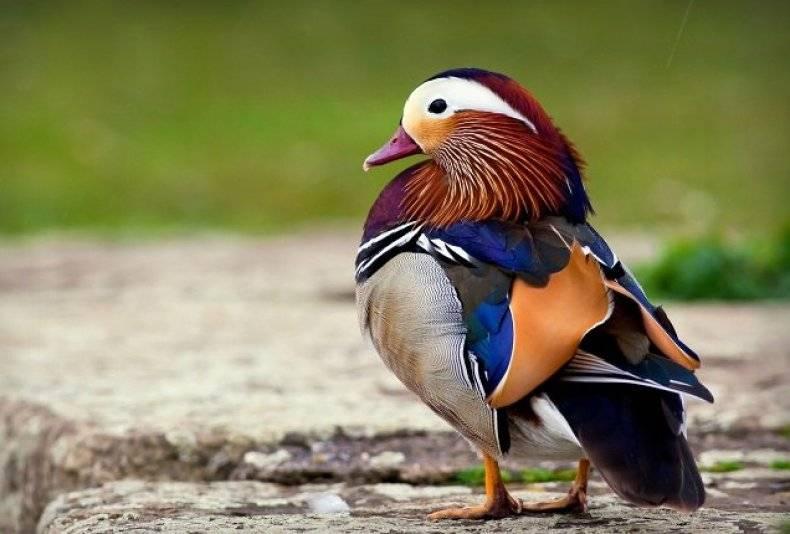 Утка мандаринка чем интересна где она живет. среда обитания