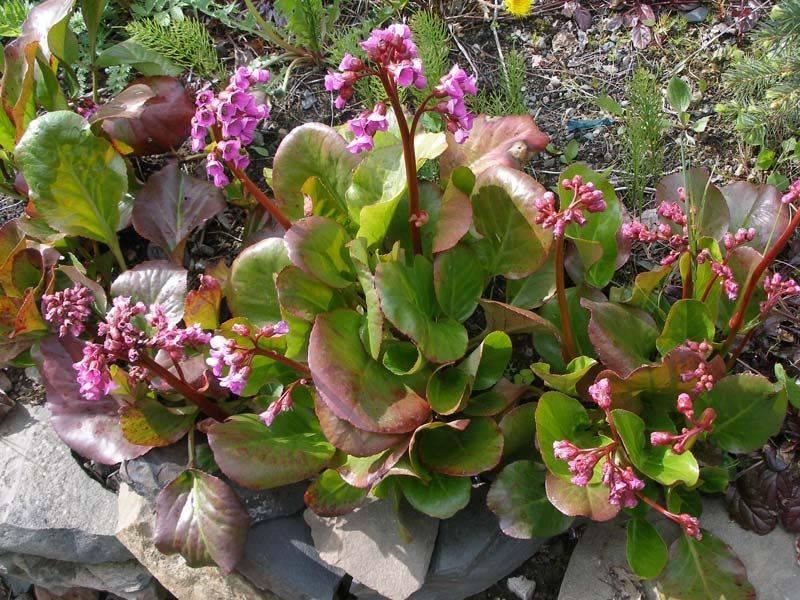 Как выращивать цветок бадан в открытом грунте?