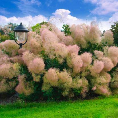 Скумпия — дымное дерево: тонкости посадки и ухода за деревом в подмосковье