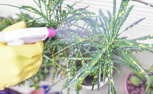 Вредитель комнатных растений щитовка: фото, описание насекомого, методы борьбы