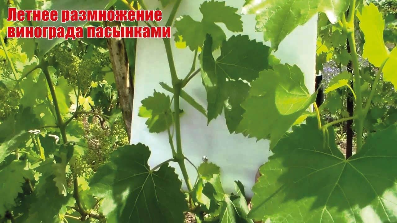 Как размножить девичий виноград