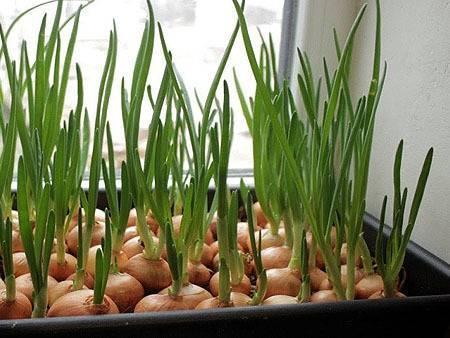 Как правильно выращивать лук на перо: дома, в теплице и в огороде