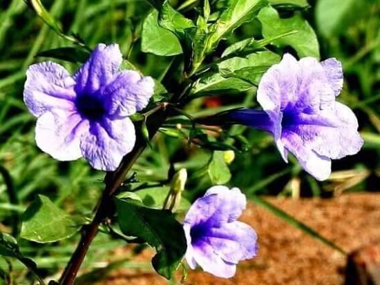 Выращивание руэллии и уход за ней в домашних условиях