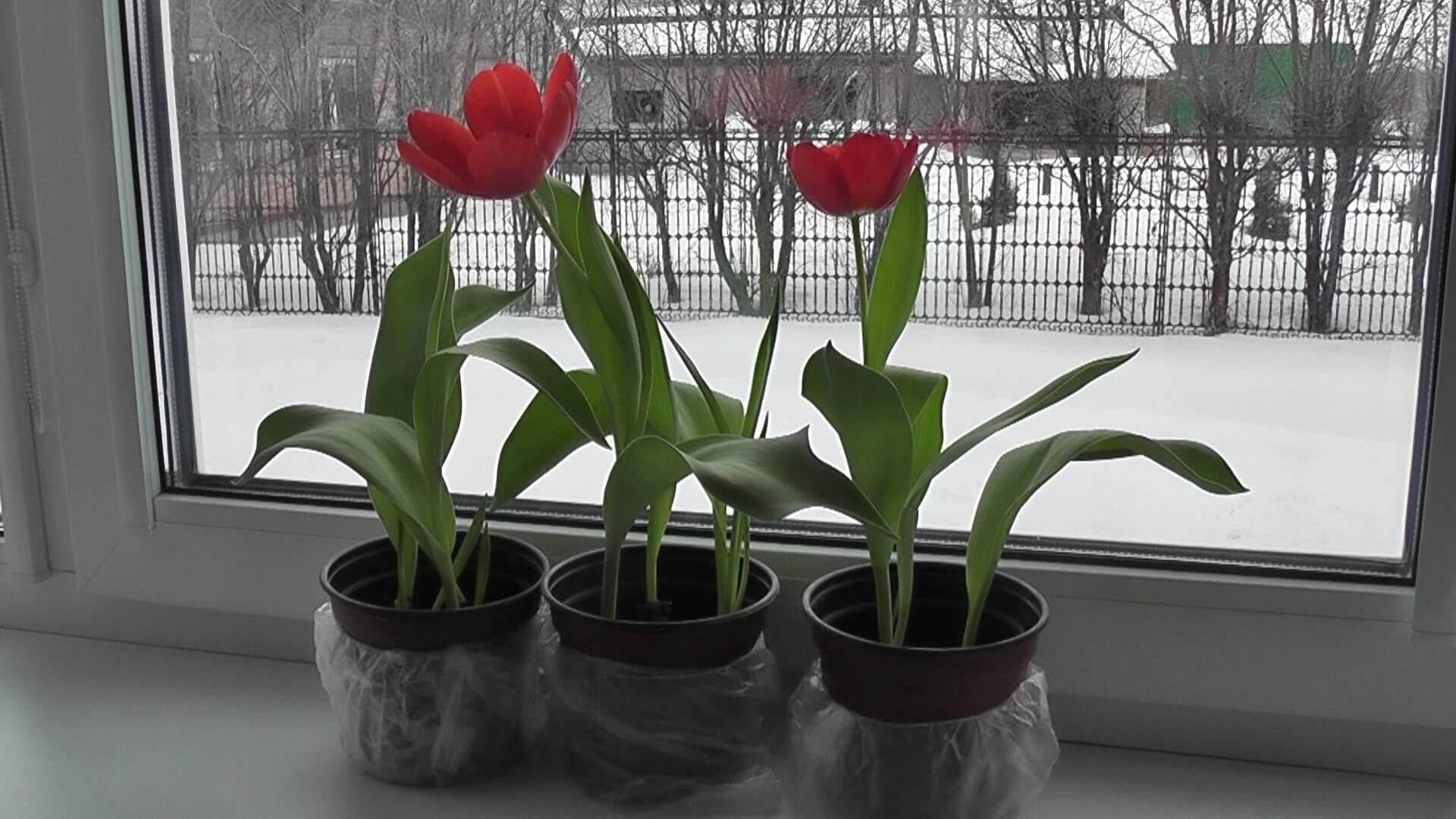 Как вырастить тюльпаны к 8 марта