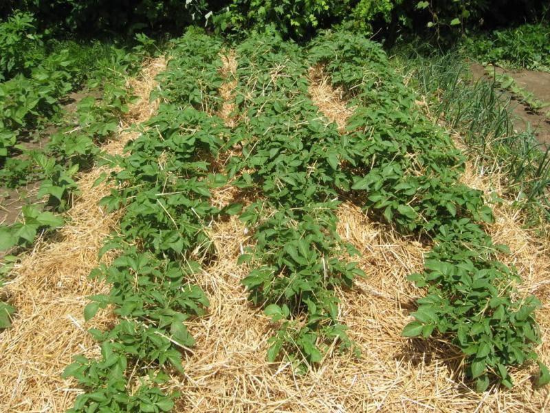 Подготовка картофеля к посадке весной: когда доставать, обработка