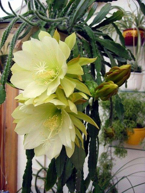 Эпифиллум: характеристика, виды, выращивание и размножение