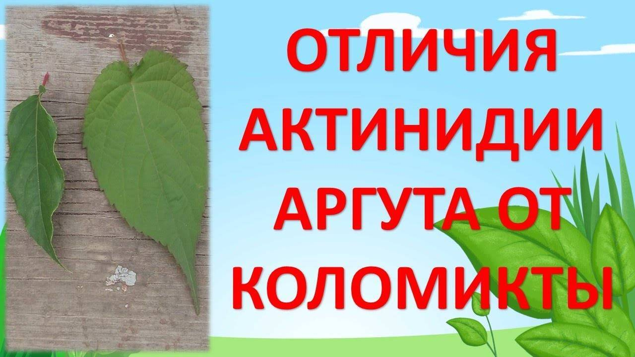 Актинидия - популярные сорта и распространённые виды