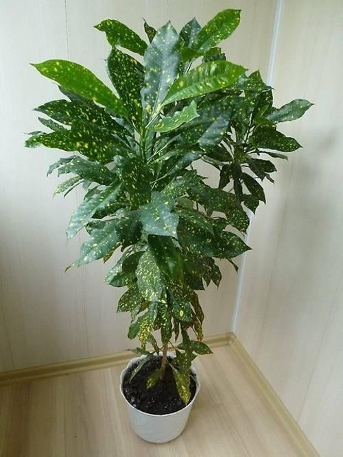 Аукуба (aucuba). уход, виды, проблемы при выращивании.