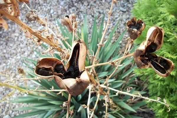 Ложная пальма юкка филаментоза — кустарник с прекрасными цветами