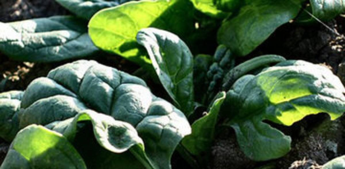 Шпинат земляничный – выращивание из семян экзотики на собственном участке