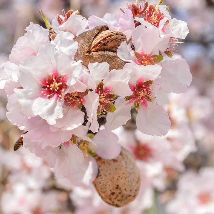 Аспарагус перистый — правила выращивания в домашних условиях, видео
