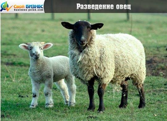 Разведение овец в домашних условиях