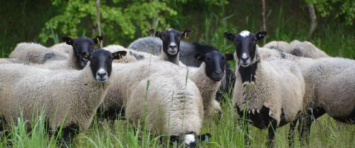 Особенности разведения романовской породы овец