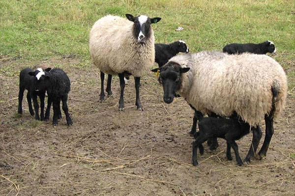Содержание и разведение овец в домашних условиях
