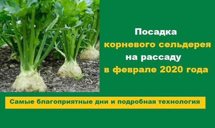 Выращивание из семян листового сельдерея - сроки посева, видео