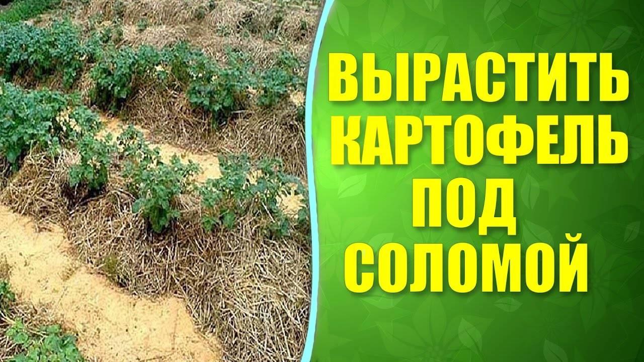 Выращивание картофеля под соломой для высокого урожая