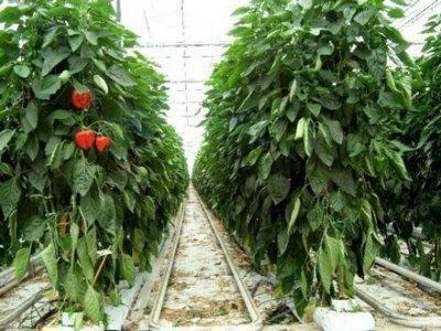 Выращивание сладкого перца в открытом грунте, парнике