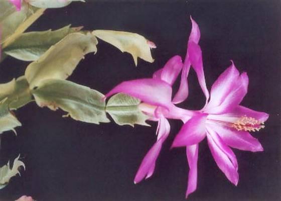 Цветок декабрист (шлюмбергера): виды и сорта